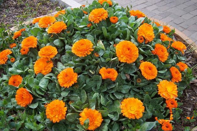 Yellow-English-Marigold-font-b-Calendula-b-font-Offcinalis-Seeds-Original-Pack-60-Seeds-Pack-Bonsai