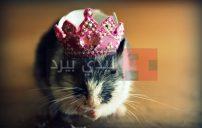 صور فئران جميلة 24
