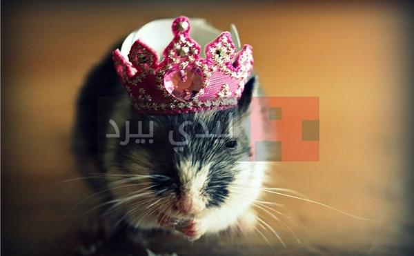 صور فئران جميلة 3