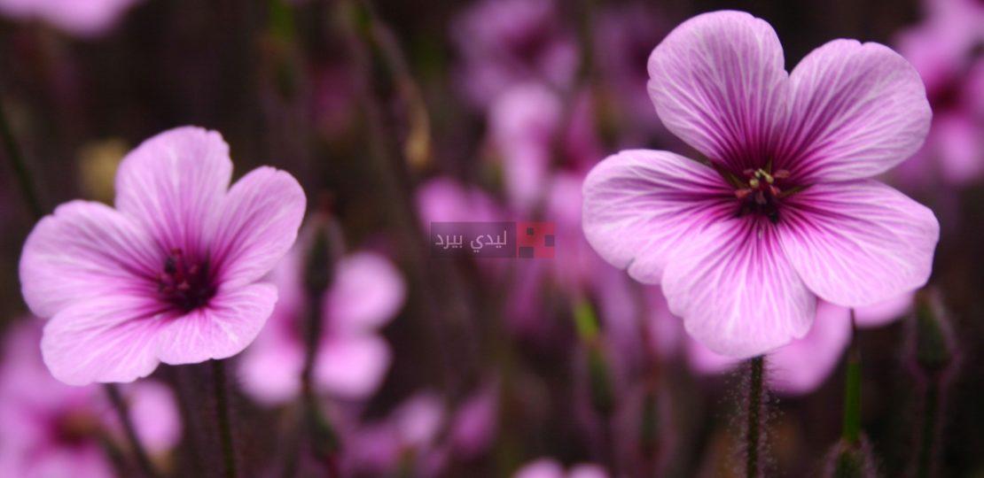 صور ازهار ارجوانية 1