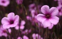 صور ازهار ارجوانية 3