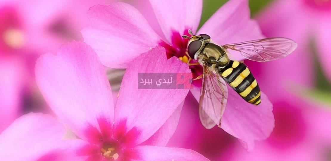 صور زهور عليها نحلة