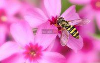 صور زهور عليها نحلة 23