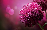 صور زهرة الاقحوان 5