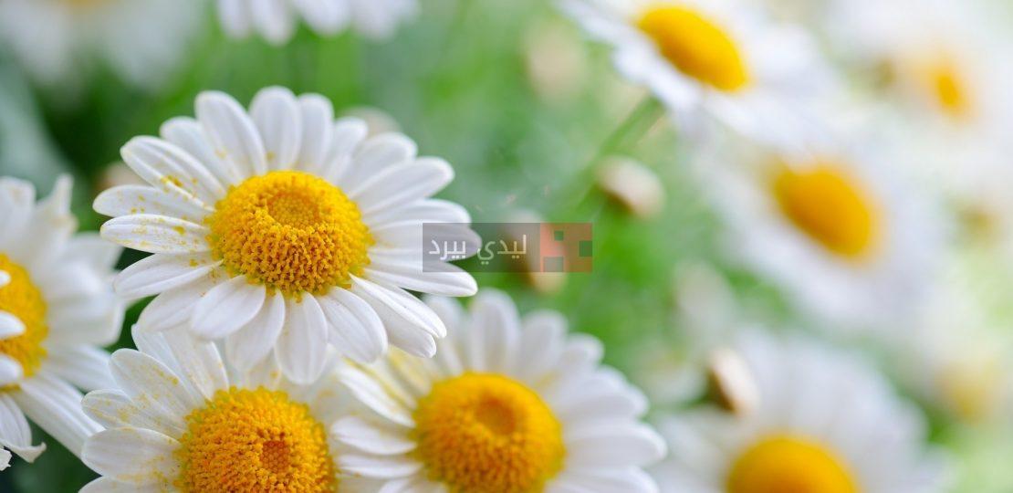 صور زهور البابونج 1