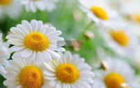 صور زهور البابونج 5
