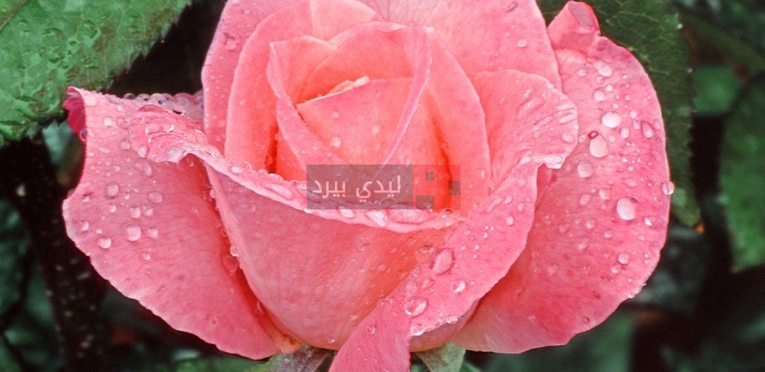 صور زهور وردية 1