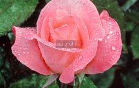 صور زهور وردية 5