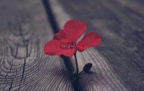 صور زهور ابرة الراعي 4