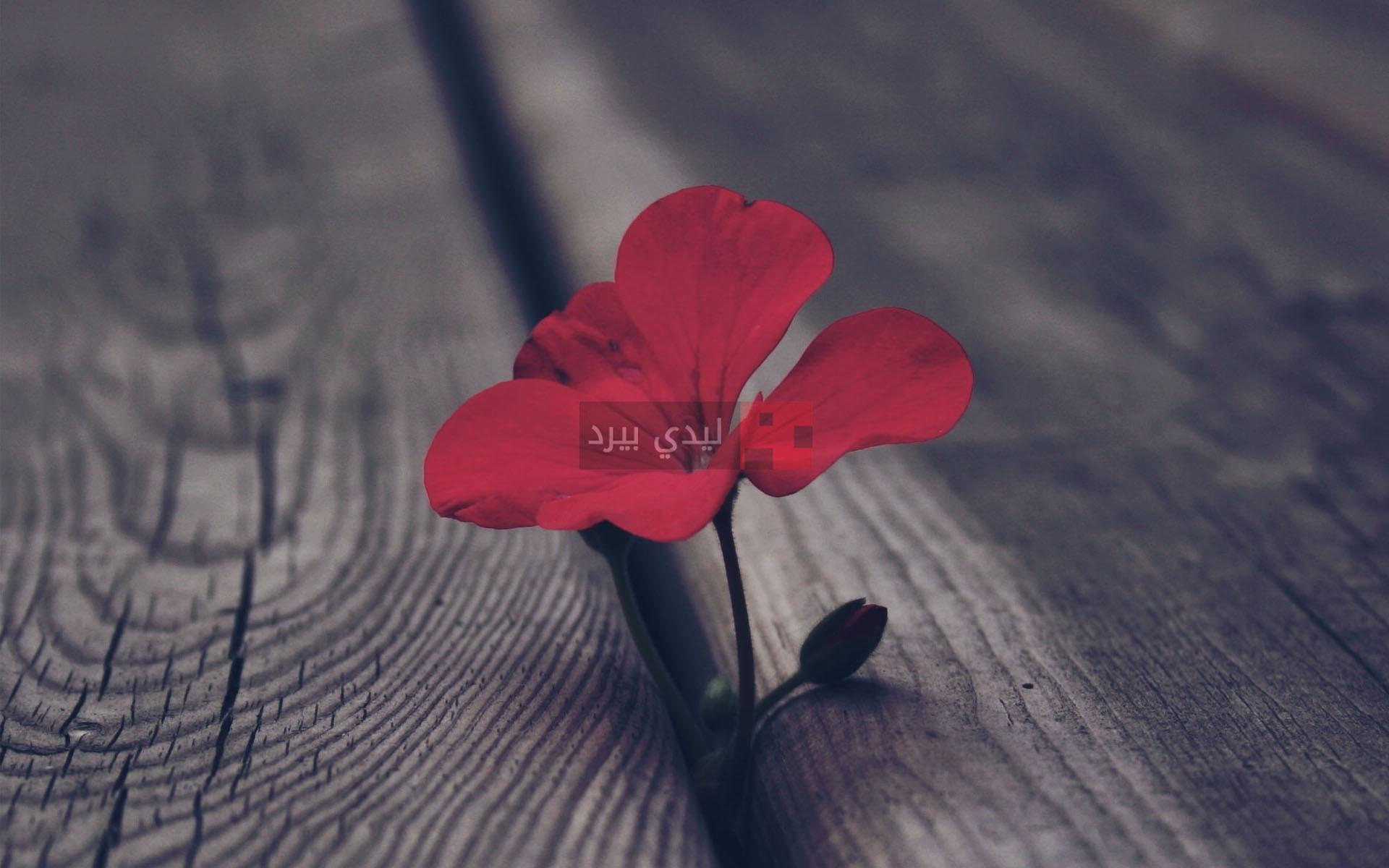 صور زهور ابرة الراعي 1