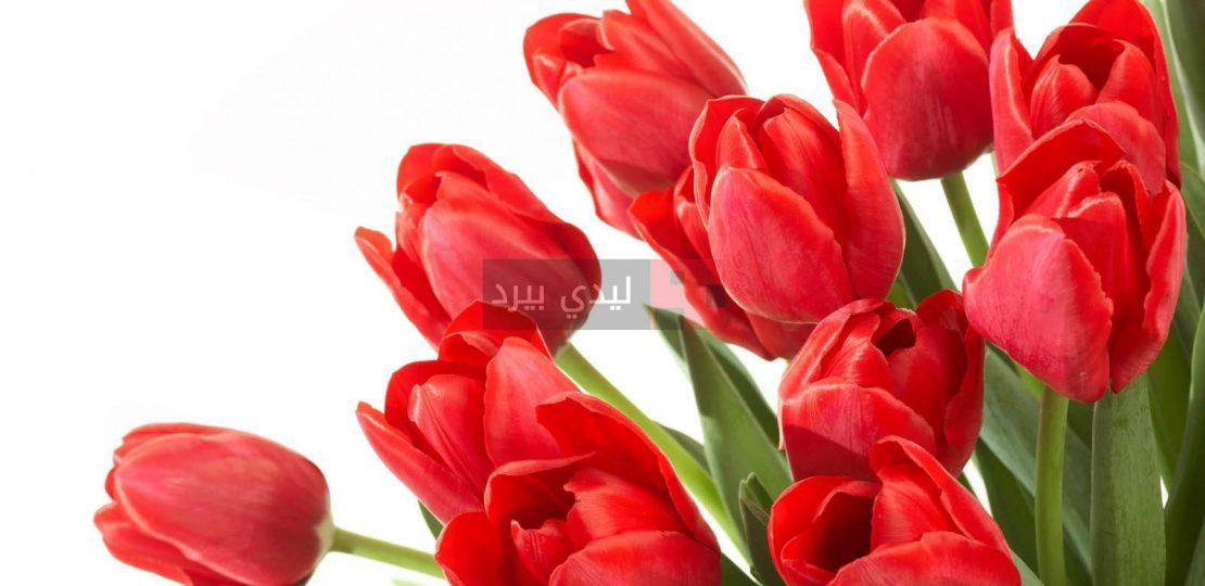 صور ورد احمر طبيعي