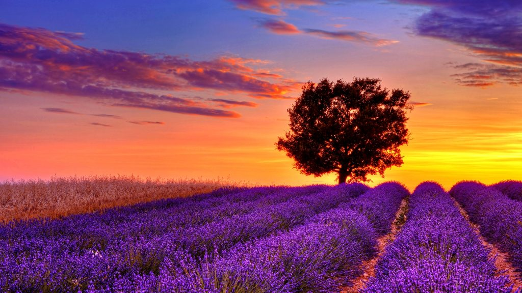 English Lavender Field with Tree at Sunset, Valensole, Valensole Plateau, Alpes-de-Haute-Provence, Provence-Alpes-Cote d´Azur, Provence, France