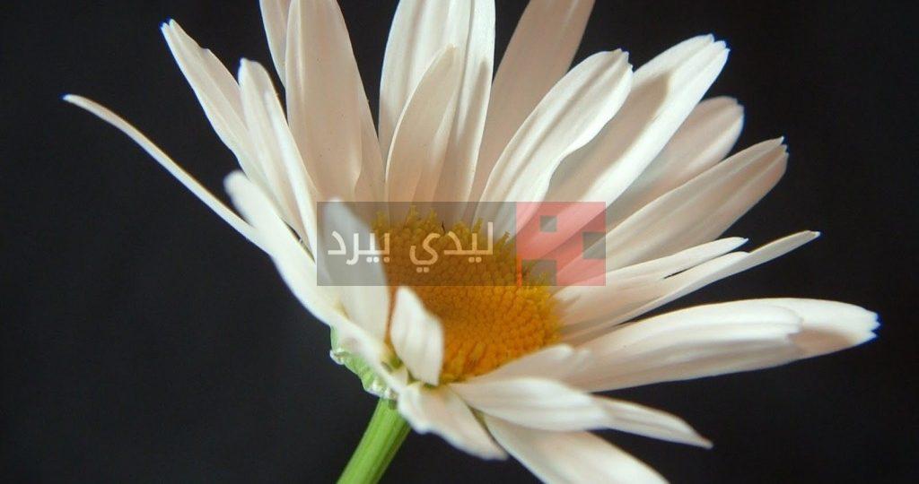 صور زهور بيضاء