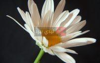 صور زهور بيضاء 28