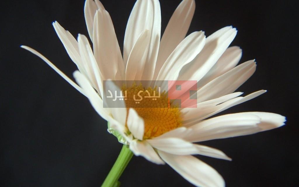 صور زهور بيضاء 1