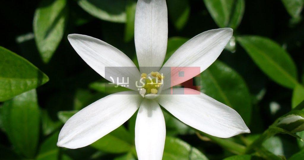 صور زهرة الياسمين 1