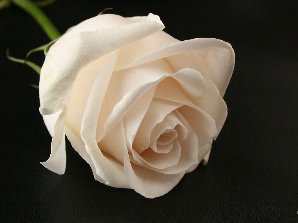 اجمل الصور الورد الابيض