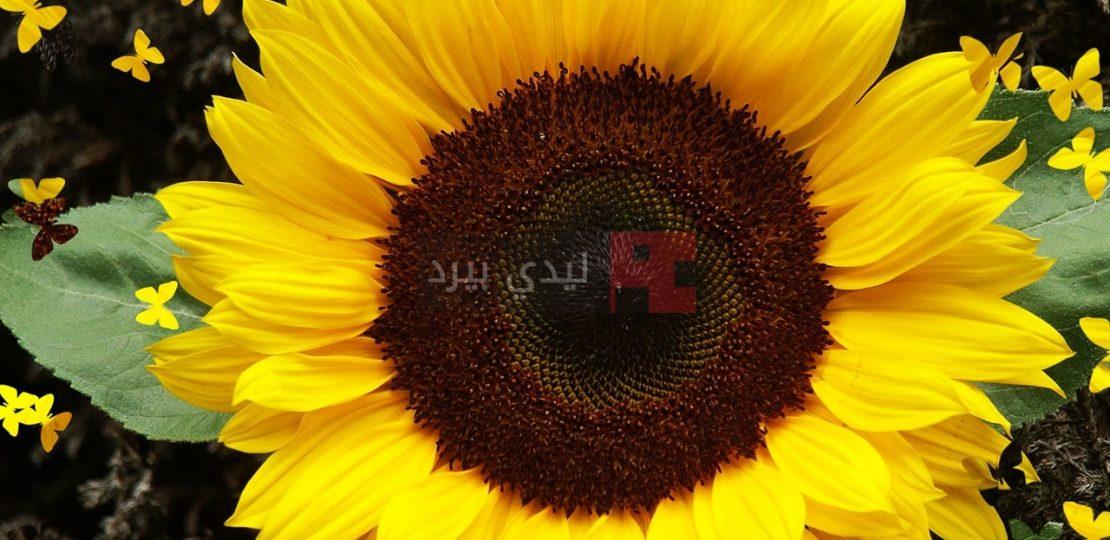 صور زهرة دوار الشمس