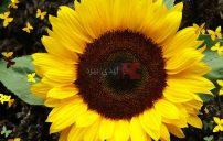 صور زهرة دوار الشمس 3