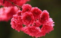 صور ورد الربيع 6