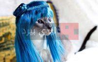 صور قطط لابسة شعر 35