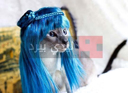 صور قطط لابسة شعر 1