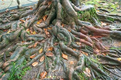 banyan-tree-root-opt
