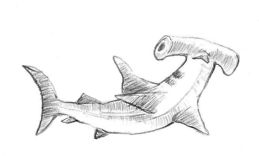 كيف ترسم سمكة قرش المطرقة 1