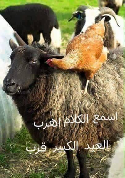 صور خروف مضحكة